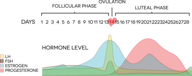 Menstrual cycle hormone level Menstrual cycle hormone level. Avarage menstrual cycle. Follicular phase, Ovulation, luteal phase. oestrogen stock illustrations