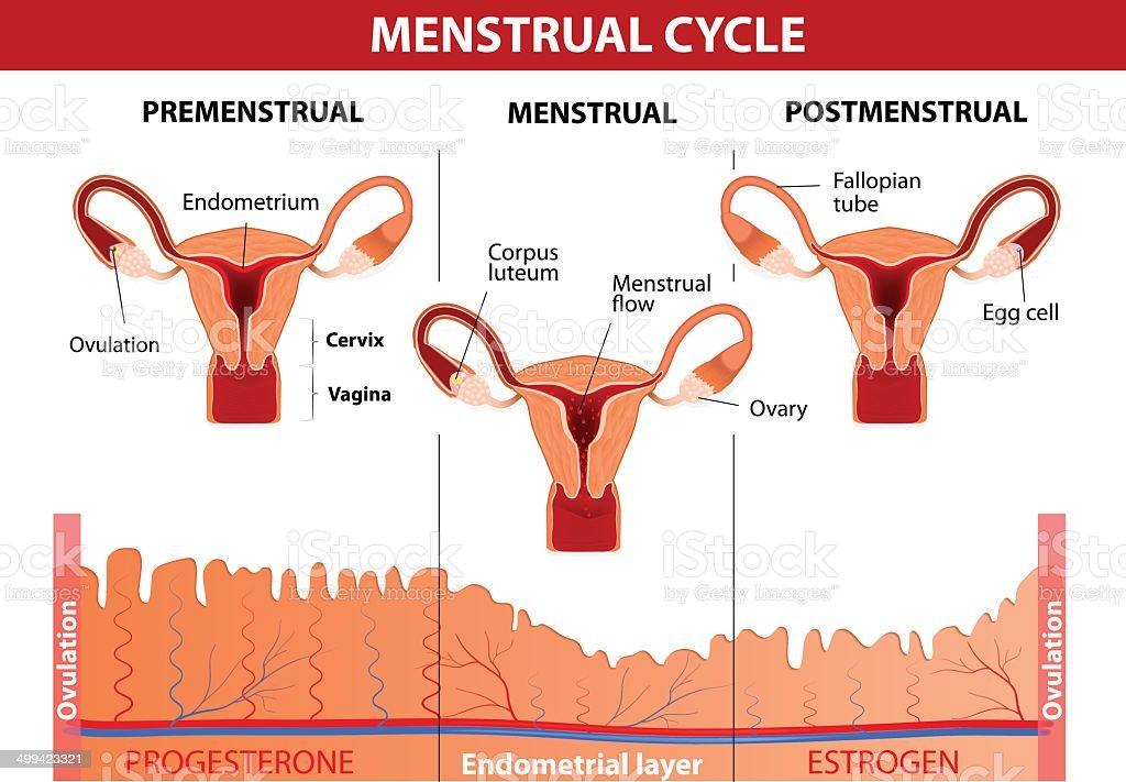 Menstrual cycle vector art illustration