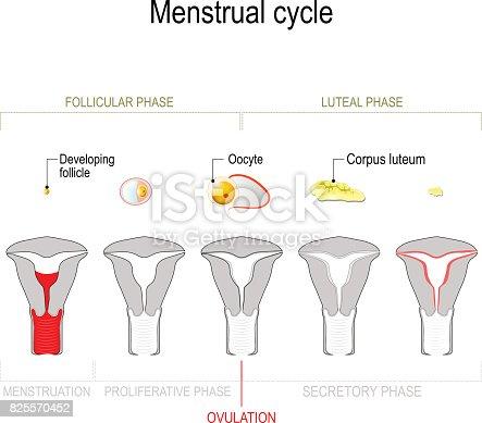 Menstrual Cycle Stock Vektor Art und mehr Bilder von Anatomie ...