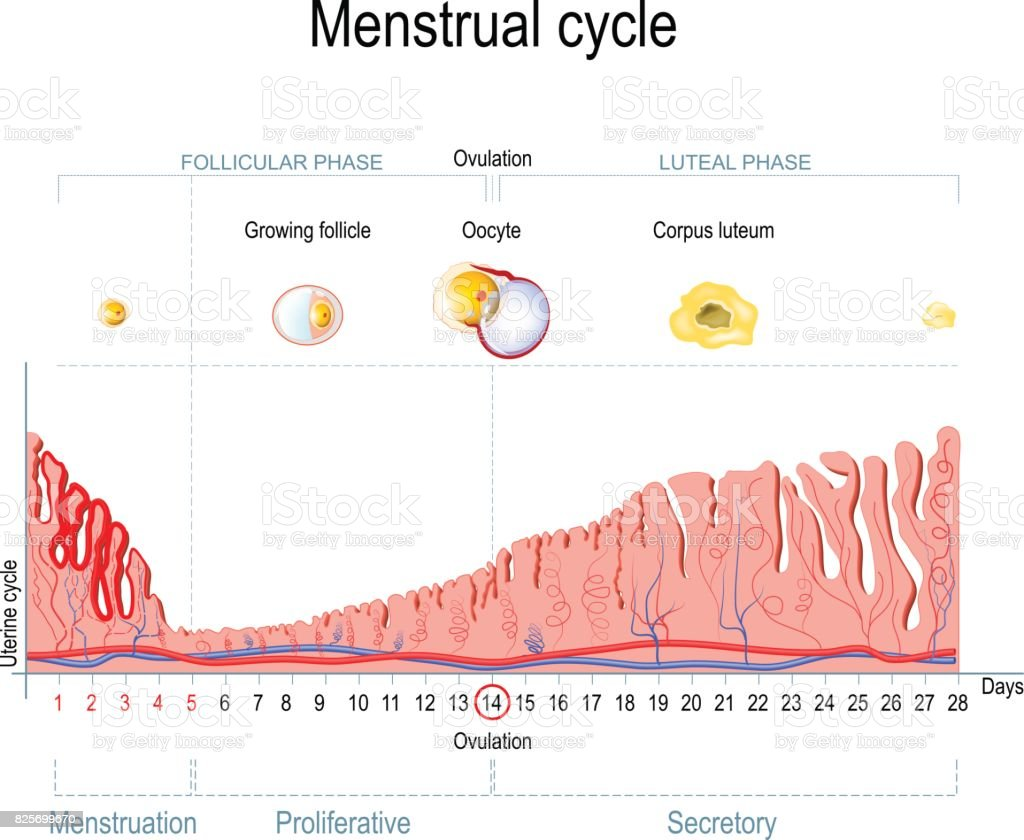Menstrual cycle stock vector art more images of anatomy 825699670 menstrual cycle royalty free menstrual cycle stock vector art amp more images of anatomy ccuart