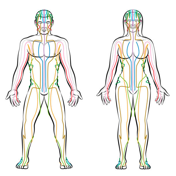 bildbanksillustrationer, clip art samt tecknat material och ikoner med meridiansystem - färgade meridianer i manliga och kvinnliga kroppen - alternativ terapi tcm behandling infographic - isolerade vektorillustration på vit bakgrund. - acupuncture