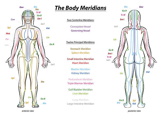 illustrations, cliparts, dessins animés et icônes de meridian system description chart female body - acupuncture