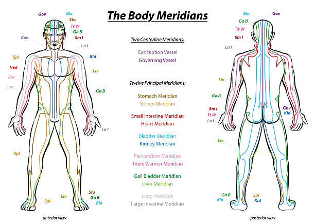 Meridian System Description Chart Male Body Meridian System Chart - Male body with principal and centerline acupuncture meridians - anterior and posterior view - Traditional Chinese Medicine - Isolated vector illustration on white background. qigong stock illustrations