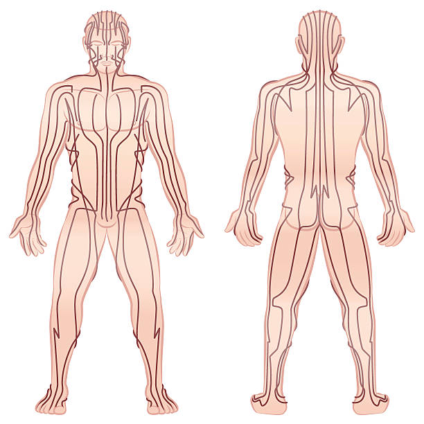 Meridians Male Body TCM Meridians - meditating man with main acupuncture meridians - front view, back view - Isolated vector illustration on white background. qigong stock illustrations