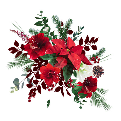 Merry Christmas floral vector bouquet. Red and white amaryllis, poinsettia