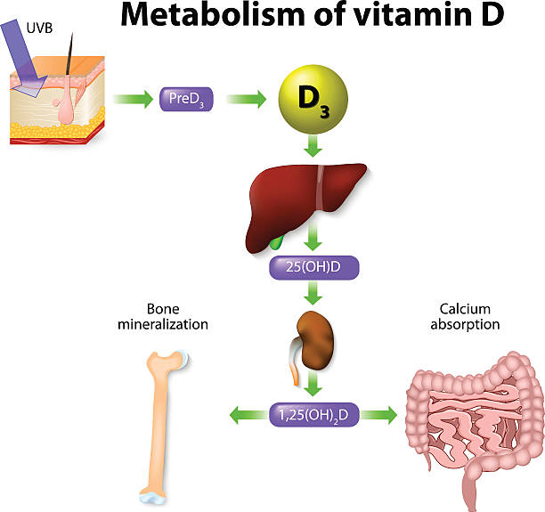 stoffwechsel an vitamin d - enzyme stoffwechsel stock-grafiken, -clipart, -cartoons und -symbole