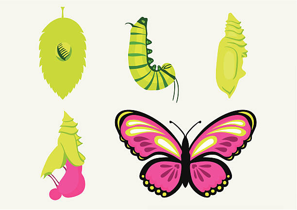 Metamorphosis-Caterpillar into Butterfly  frau stock illustrations