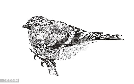 Mezzotint illustration of an American Goldfinch perching