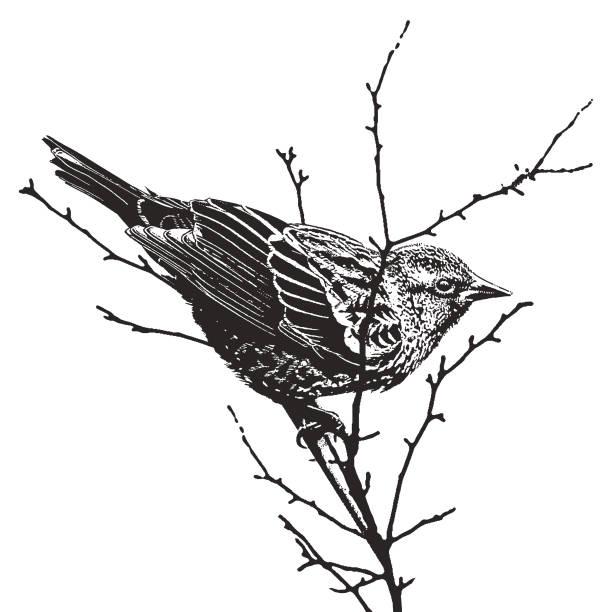 mezzotint silhouette illustration of a female red-winged blackbird - граттаж stock illustrations