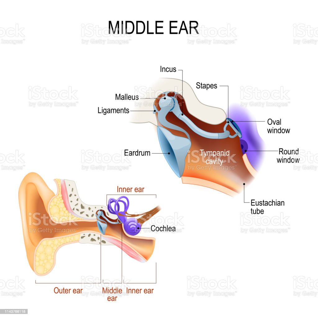 Middle ear. Three ossicles: malleus, incus, and stapes (hammer, anvil, and stirrup) diagram of the anatomy of the human ear. Three ossicles: malleus, incus, and stapes (hammer, anvil, and stirrup). The ossicles directly couple sound energy from the ear drum to the oval window of the cochlea. Detailed illustration for educational, medical, biological, and scientific use Anatomy stock vector