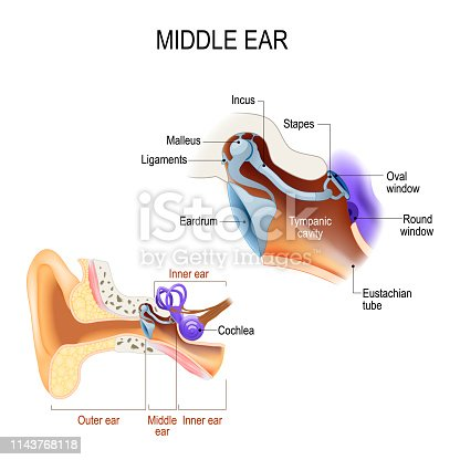 diagram of the anatomy of the human ear. Three ossicles: malleus, incus, and stapes (hammer, anvil, and stirrup). The ossicles directly couple sound energy from the ear drum to the oval window of the cochlea. Detailed illustration for educational, medical, biological, and scientific use