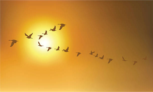 Migration Birds or Geese A group of birds or geese flying in the sunset sky goose bird stock illustrations