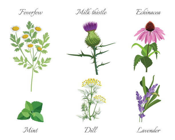 Milk thistle and feverfew medical herbs set vector illustration Milk thistle and feverfew, echinacea and mint green leaves. Dill and lavender medicinal herbs set vector illustration. Herbal treatment plants isolated dill stock illustrations