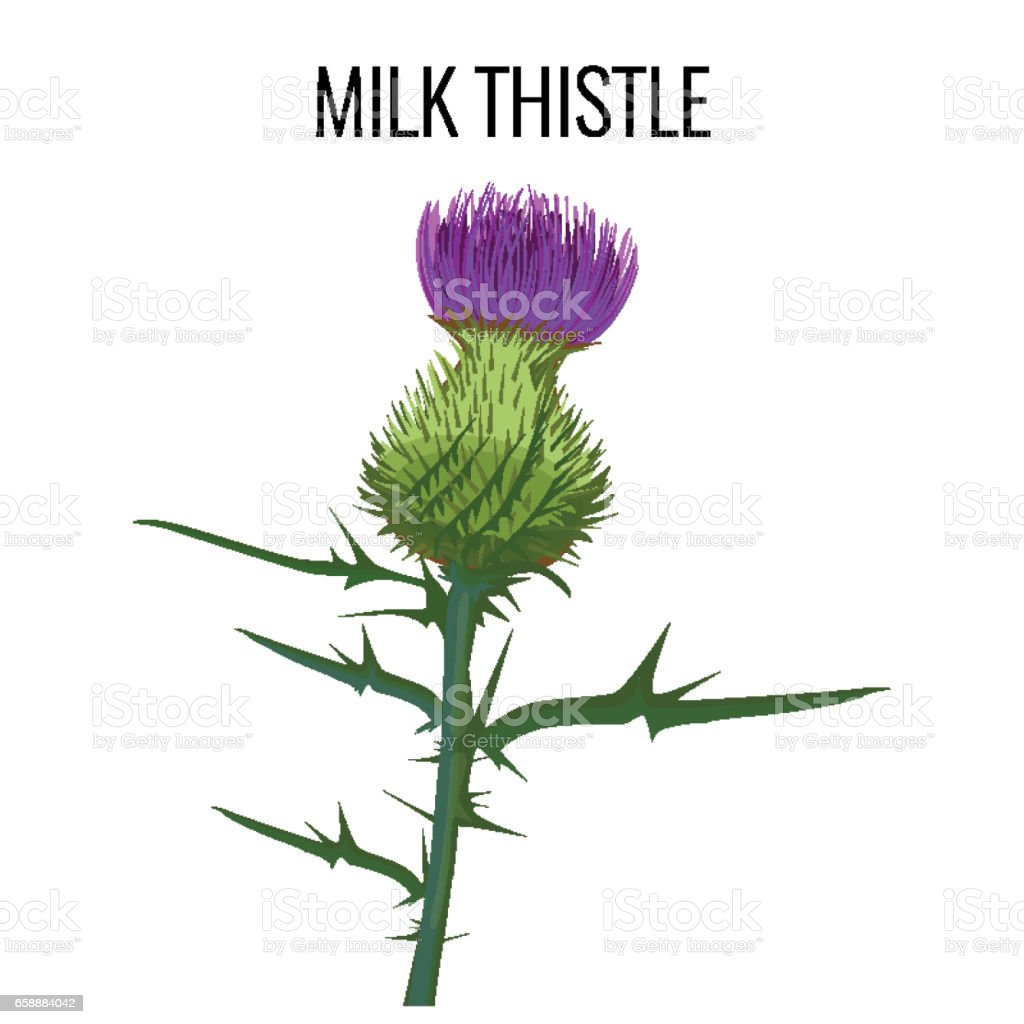 Milk Thistle Isolated On White Background Blessed ...