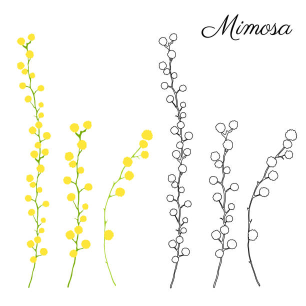 illustrazioni stock, clip art, cartoni animati e icone di tendenza di mimosa flower hand drawn vector color illustration isolated on white background, ink doodle sketch, line art decorative floral element for design greeting card, wedding invitation, packaging cosmetic - mimosa