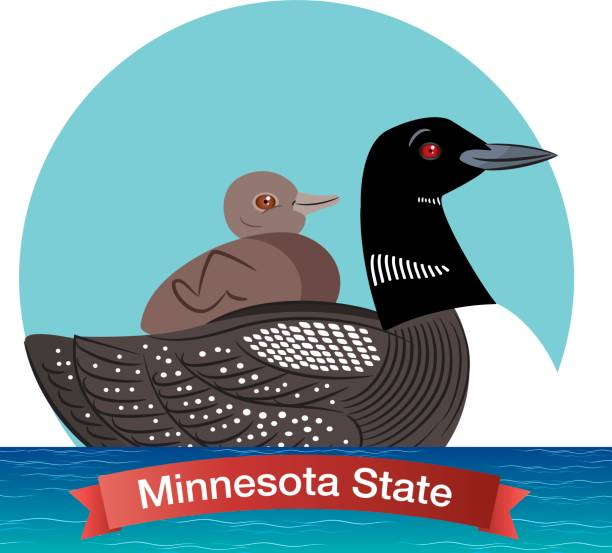 Minnesota State Bird - Common Loon Vector Minnesota State Bird - Common Loon loon bird stock illustrations