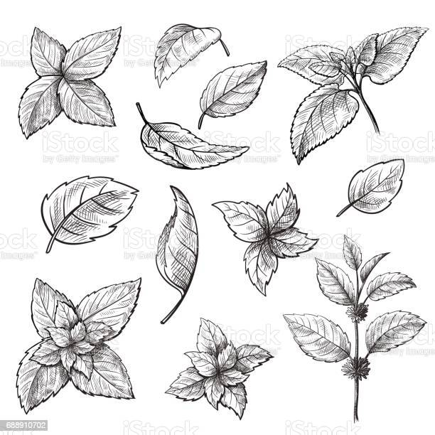 Mint hand sketch vector illustration vector id688910702?b=1&k=6&m=688910702&s=612x612&h=p3kczps6meuculhot lmj74fesof0nt hlgx1azbbte=