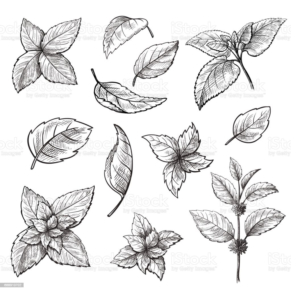 Mint hand sketch vector illustration. vector art illustration