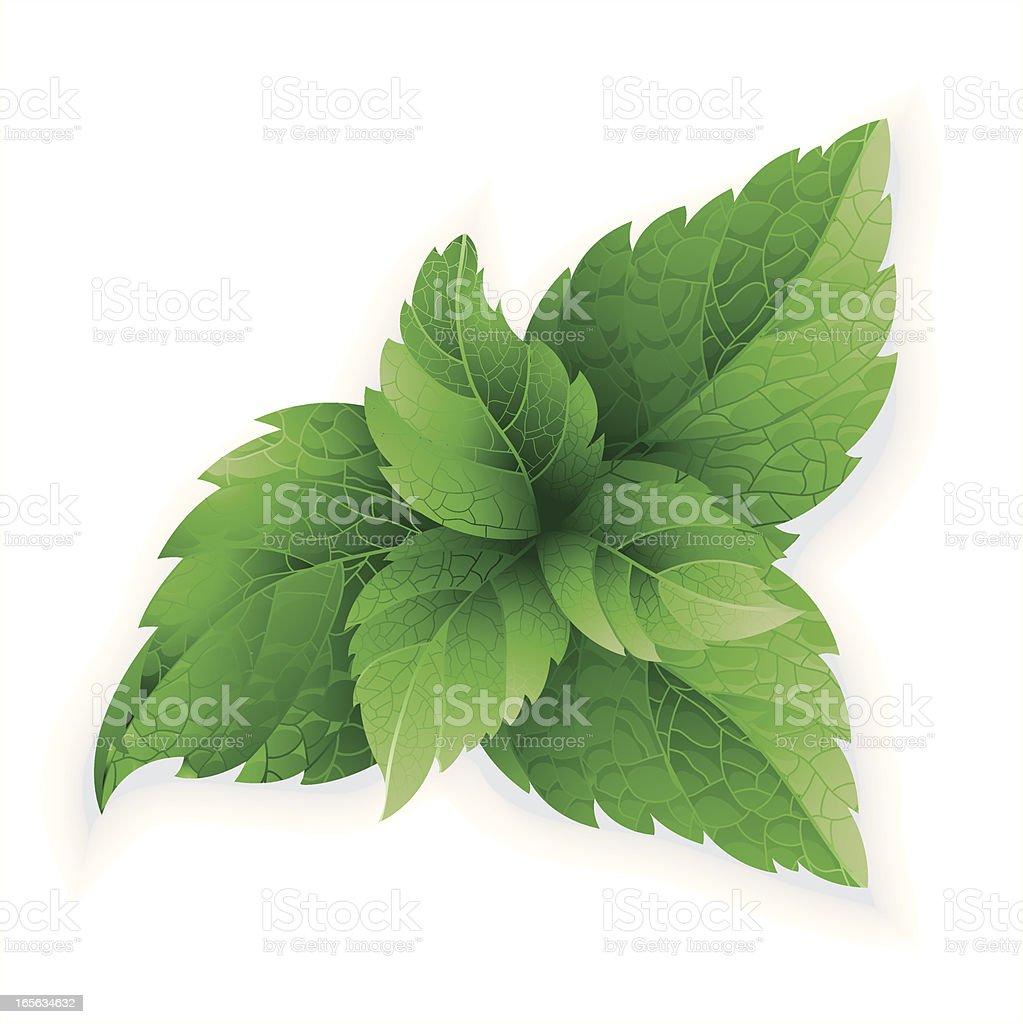 Mint herb vector art illustration