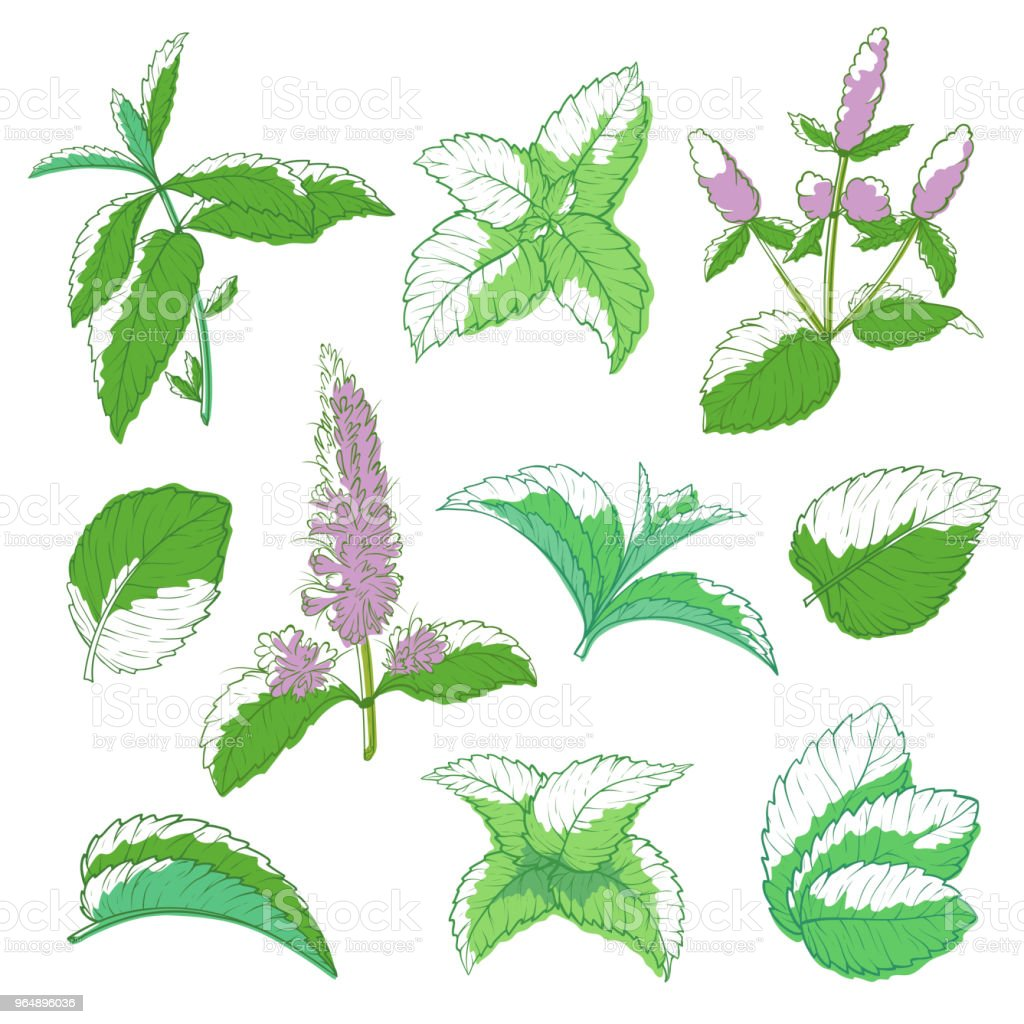 Mint leaf hand drawn set royalty-free mint leaf hand drawn set stock vector art & more images of art
