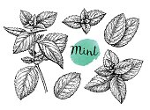 Retro style ink sketch of mint. Isolated on white background. Hand drawn vector illustration.