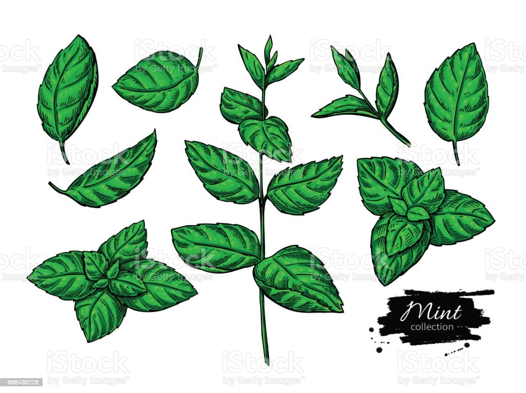 Mint vector drawing set. Isolated plant and leaves. Herbal hand drawn artistic vector art illustration