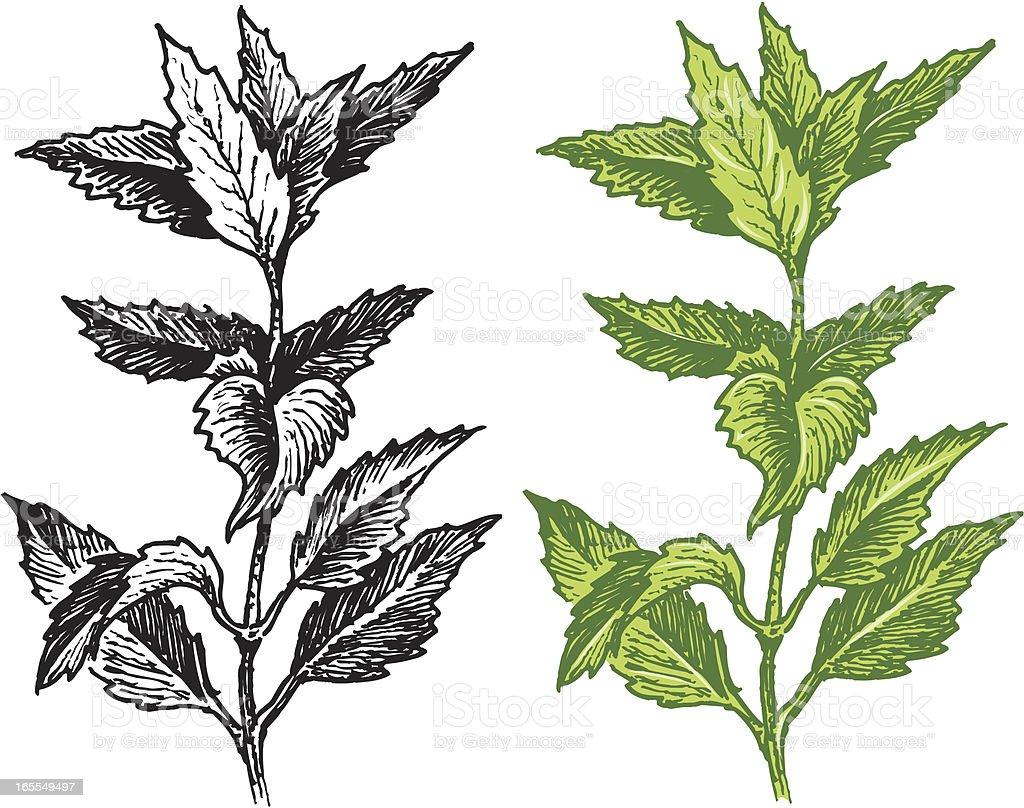 Mint vector art illustration
