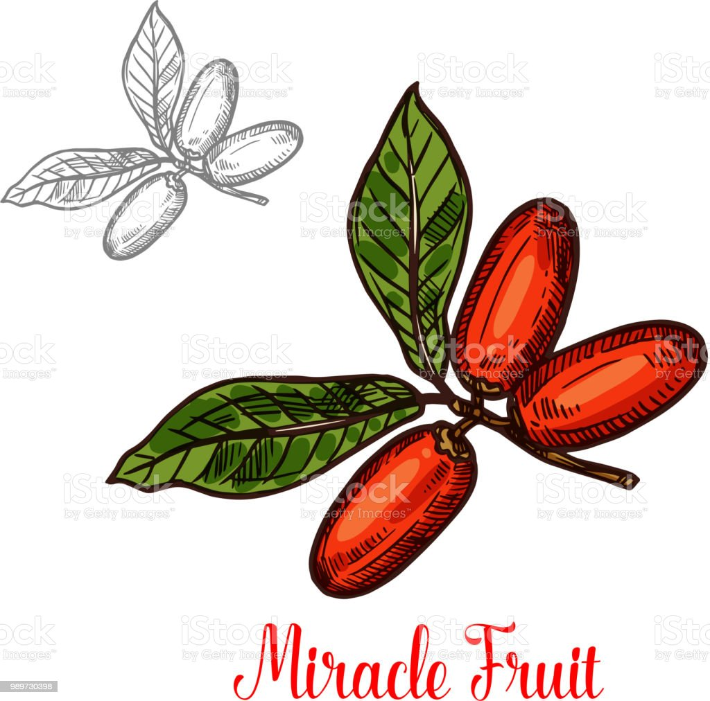 Miracle fruit green branch sketch of exotic berry