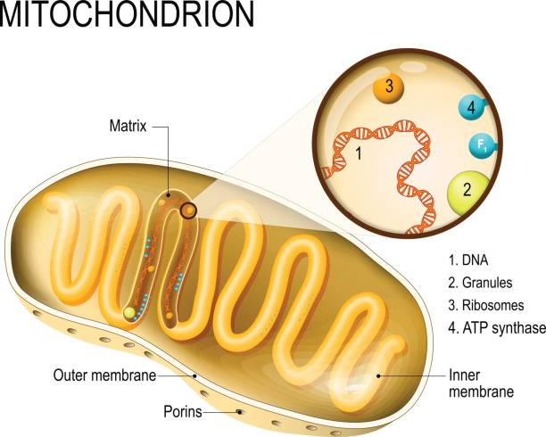 Mitochondrion Mitochondrion. cross-section and structure mitochondrion organelle. vector diagram mitochondrion stock illustrations