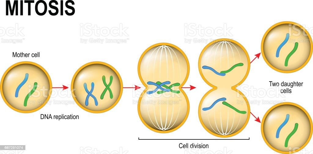 Mitosis Cell Division Stock Illustration