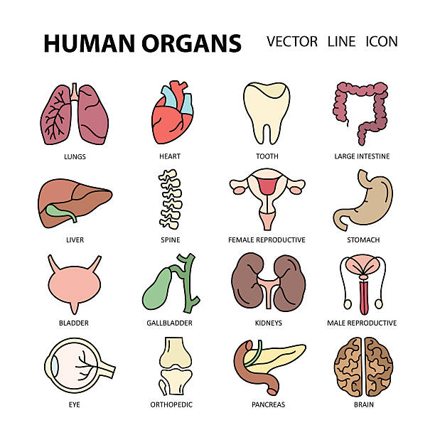 Modern color  icons on a theme medicine human internal organs. vector art illustration