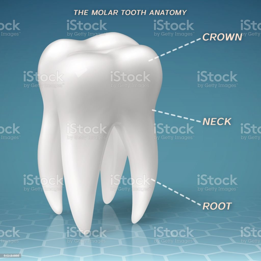 Molar Anatomy Crown Neck And Root Of Tooth Stock Vector Art & More ...
