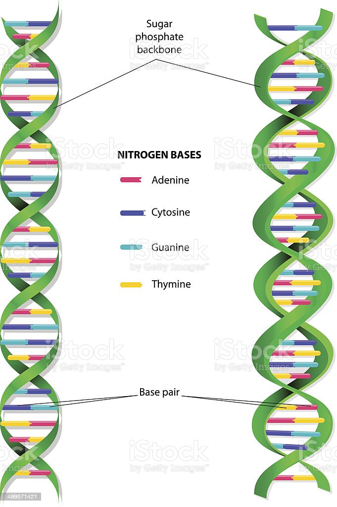 Dna Molecule Vector Diagram Stock Vector Art More Images Of