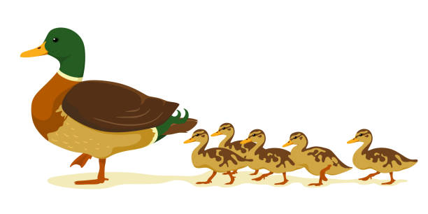 Mom duck with ducklings in cartoon flat style. Vector isolate on a white background. Wild ducks. Mom duck with ducklings in cartoon flat style. Vector isolate on a white background. Wild ducks. duckling stock illustrations