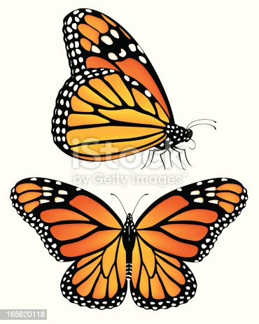 Vector illustration of monarch butterflies, both a top view and a side view.  Each butterfly is on its own layer, and each is easily separated from the other and from the white background.  Illustration uses gradient meshes and linear gradients.  CS .ai and AI8-compatible .eps formats are included, along with a high-res .jpg.
