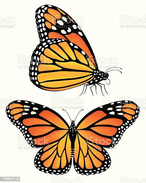 Monarch butterflies vector id165620118?b=1&k=6&m=165620118&s=612x612&h= b2aaxtpgsczx15nnygk62q4xjotzgmwuly0zljsb2s=