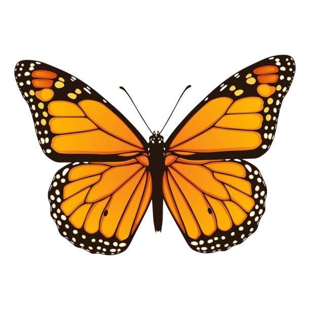 illustrations, cliparts, dessins animés et icônes de papillon monarque.  main dessinée illustration vectorielle - papillon