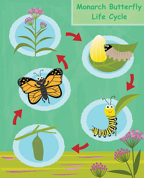 Monarch Butterfly Life Cycle vector art illustration