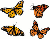 Monarch butterfly in four differents positions vector
