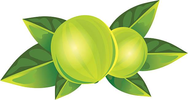 Monk Fruit vector art illustration