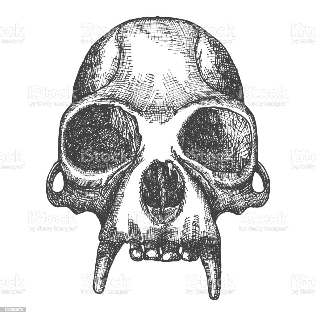 monkey skull hand drawn isolated on white drawing sketch of the