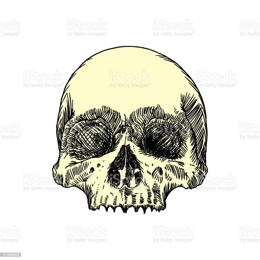 Monochrome Anatomische Zeichnung Der Schädel Ohne Unterkiefer Auf ...
