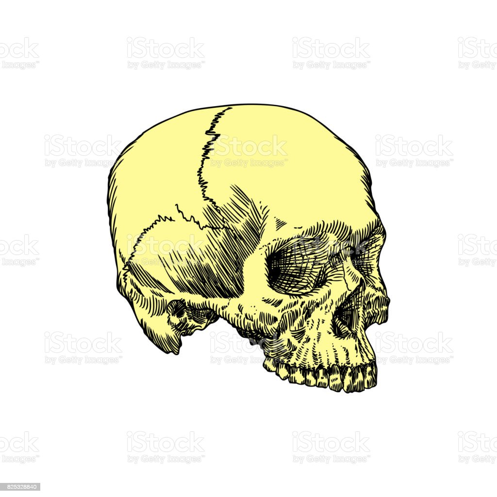Monochrome Anatomic Drawing Of Skull Without Lower Jaw On White ...