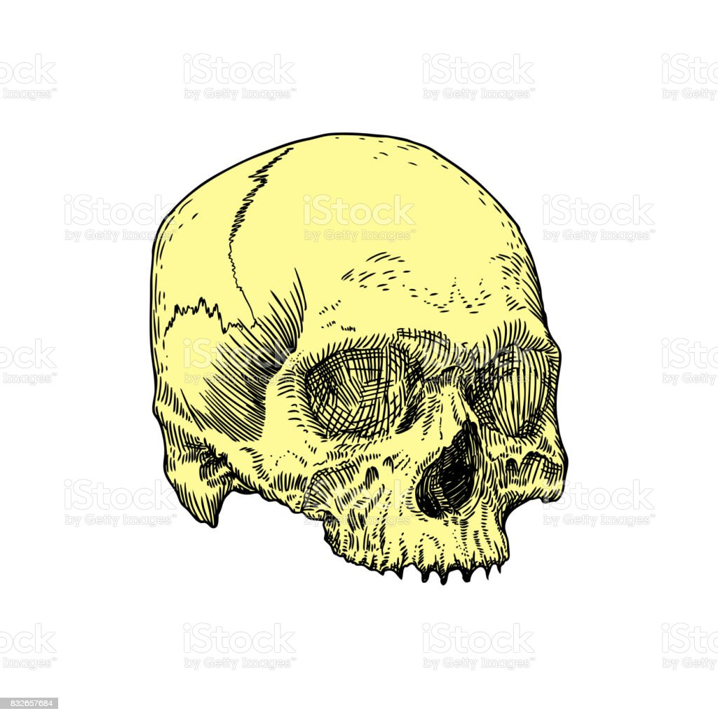 Monochrome Anatomic Drawing Of Skull Without Lower Jaw On White