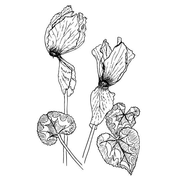 monochrome alpenveilchen, hand gezeichnete skizze der pflanze lager vektor-illustration - alpenveilchen stock-grafiken, -clipart, -cartoons und -symbole