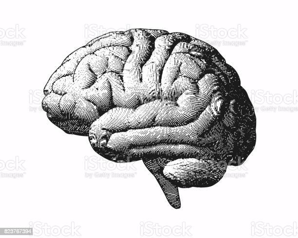 Monochrome engraving brain illustration on white bg vector id823767394?b=1&k=6&m=823767394&s=612x612&h=uafurh4ir cwnghhpg9wsutkea0vbdcvsqimoutzvnu=