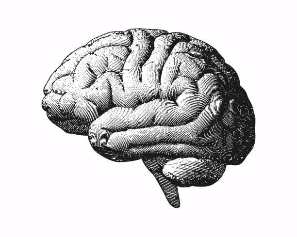 Monochrome engraving brain illustration on white BG Monochrome engraving brain side view illustration old style on white background biomedical illustration stock illustrations