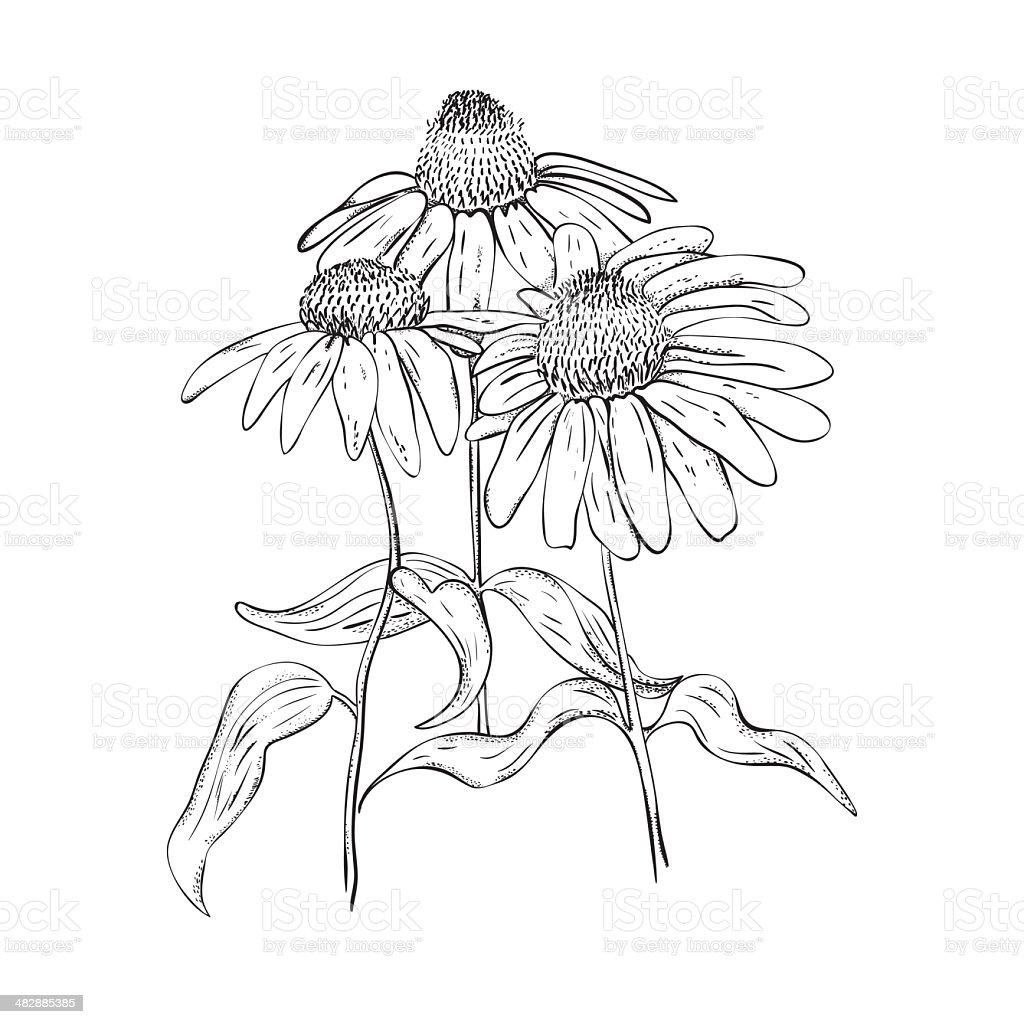 Monochrome line drawing of herb vector art illustration