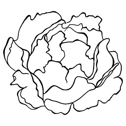 Monochrome Peony Flower Plant Line Art Vector Stock Illustration - Download Image Now