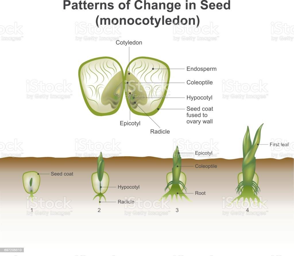 Monocotyledon Stock Vektor Art und mehr Bilder von Bambussprossen ...